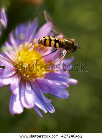 Bees store honey dew from pink chrysanthemum flower in garden. Insect's lunch/Bee on flower collecting nectar. Honey bee on Purple aster   - stock photo