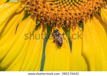 Bees store honey dew from sunflower,the morning time