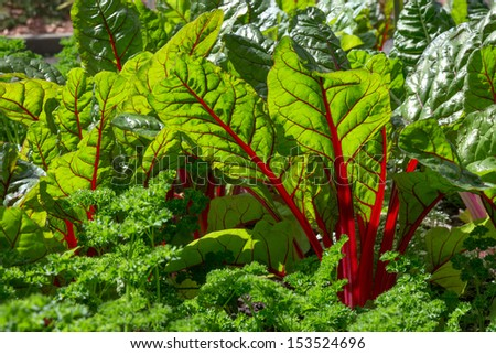 Beet leaves in sunlight. Fresh and healthy vegetable garden. - stock photo