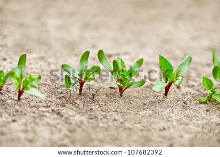 Beet sprouts in the garden close up - stock photo