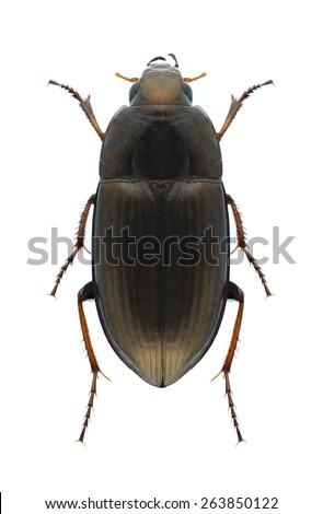 Beetle Amara aenea on a white background - stock photo