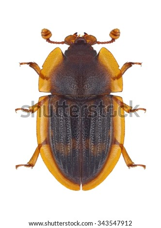 Beetle Amphotis marginata on a white background - stock photo