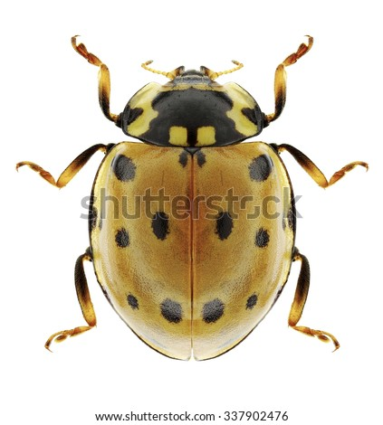 Beetle Anatis ocellata on a white background - stock photo
