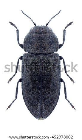 Beetle Anthaxia carmen maroccana on a white background - stock photo