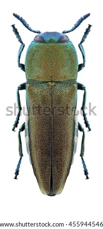 Beetle Anthaxia fedtschenkoi on a white background - stock photo