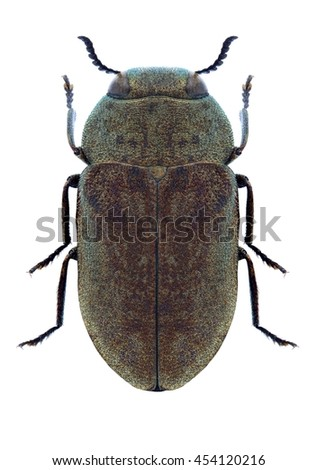 Beetle Anthaxia griseocuprea on a white background - stock photo