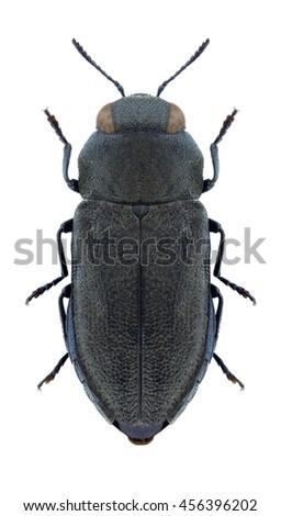 Beetle Anthaxia quadripunctata attavistica on a white background - stock photo