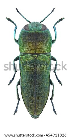 Beetle Anthaxia ursulae on a white background - stock photo