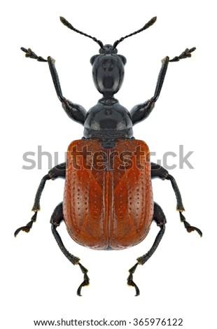 Beetle Apoderus coryli on a white background - stock photo