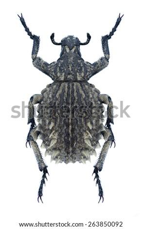 Beetle Brachycerus aegyptiacus on a white background - stock photo