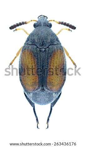 Beetle Callosobruchus maculatus on a white background - stock photo