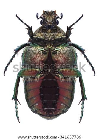 Beetle Cetonia aurata on a white background - stock photo