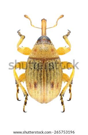 Beetle Corimalia setulosa on a white background - stock photo