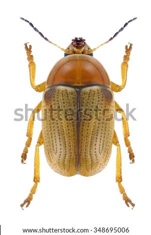 Beetle Cryptocephalus fulvus on a white background - stock photo