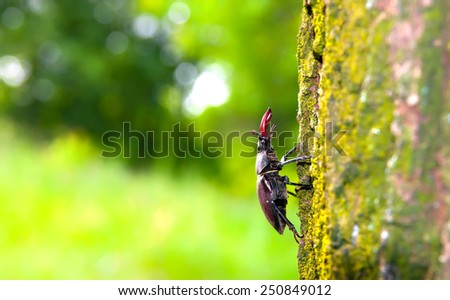 beetle deer in their natural habitat - stock photo