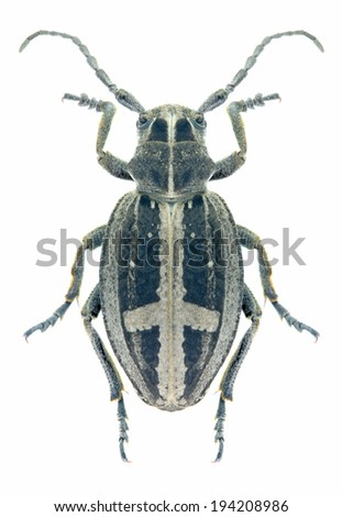 Beetle Dorcadion equestre on a white background