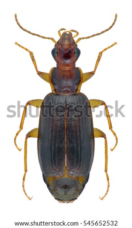 Beetle Dromius agilis on a white background