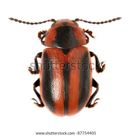Beetle Entomoscelis adonidis on a white background - stock photo
