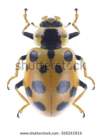 Beetle Ladybird Hippodamia tredecimpunctata on a white background  - stock photo