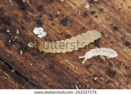 Beetle larva and springtail on wood - stock photo