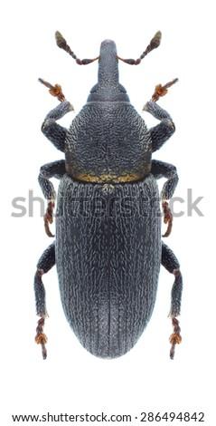 Beetle Mecinus collaris on a white background - stock photo