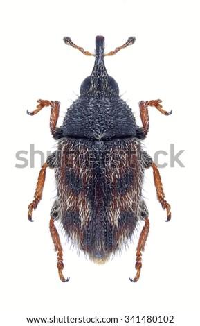 Beetle Mecinus labilis on a white background - stock photo