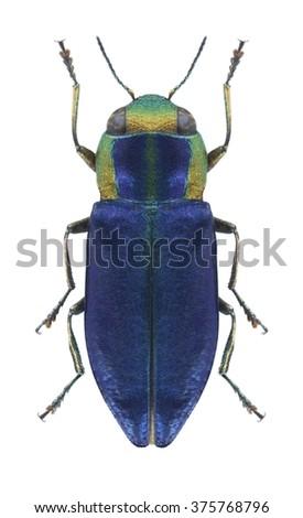 Beetle metallic wood borer Anthaxia anatolica lucidiceps on a white background - stock photo