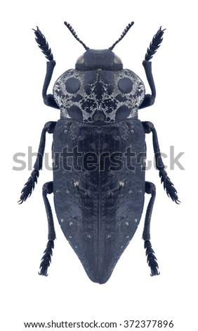 Beetle metallic wood borer Capnodis jacobsoni on a white background - stock photo