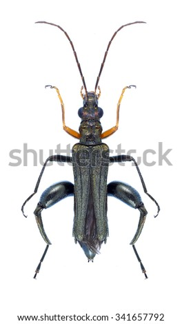 Beetle Oedemera flavipes on a white background - stock photo
