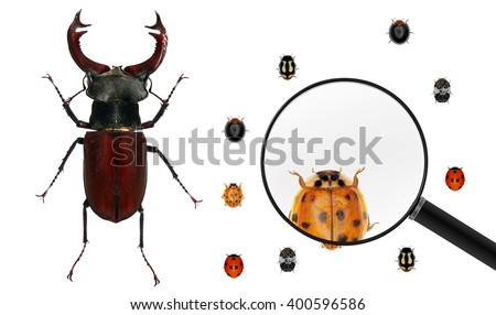 Beetle of Lucanus cervus (Lucanidae) and various ladybugs (ladybird beetles).Ladybug view through a magnifying glass.Isolated on a white background. Small versus big size (parameter) of insects  - stock photo