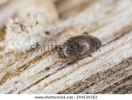 Beetle of the Meligethes family on wood, extreme close-up with high magnification - stock photo