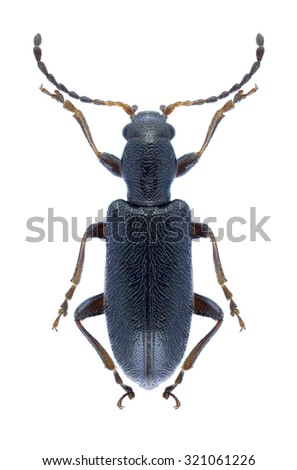 Beetle Orsodacne lineola on a white background - stock photo