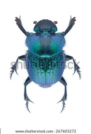 Beetle Phanaeus mexicanus on a white background - stock photo