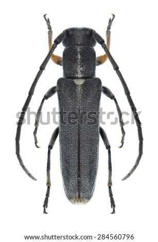 Beetle Phytoecia cylindrica on a white background - stock photo