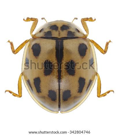 Beetle Propylea quatuordecimpunctata on a white background - stock photo