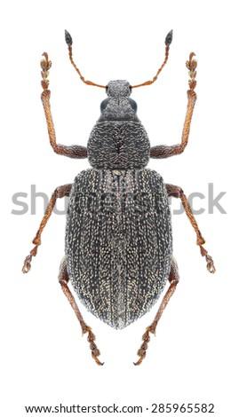 Beetle Sciaphobus squalidus on a white background - stock photo