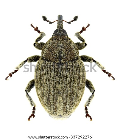 Beetle Sibinia pellucens on a white background - stock photo