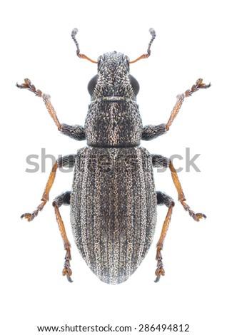 Beetle Sitona striatellus on a white background - stock photo