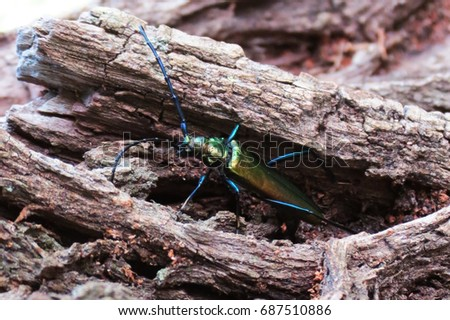 Beetle (spanish fly) on the tree