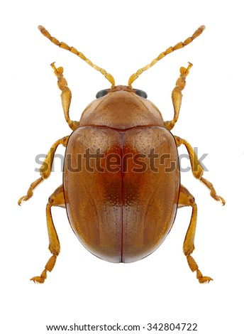Beetle Sphaeroderma testaceum on a white background - stock photo