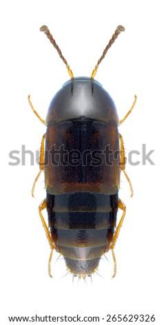Beetle Tachyporus pusillus on a white background - stock photo