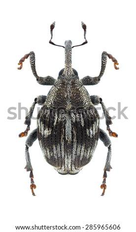 Beetle Thamiocolus pubicollis on a white background - stock photo