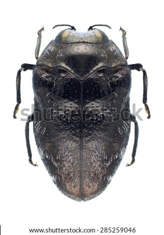Beetle Trachys minutus on a white background - stock photo