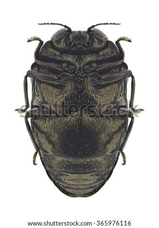 Beetle Trachys minutus (underside) on a white background - stock photo