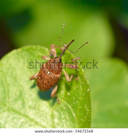 Beetle weevil (Curculia nucum) sitting on a leaf. Extreme close-up. - stock photo