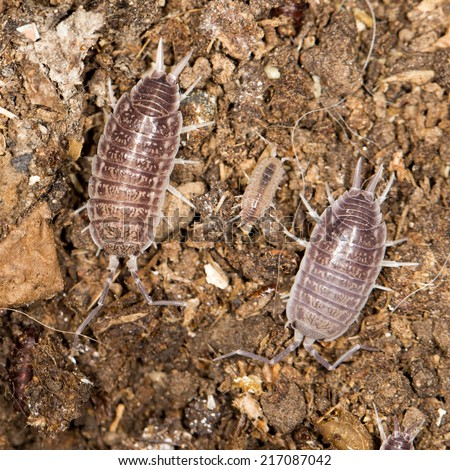 beetle wood louse in nature - stock photo