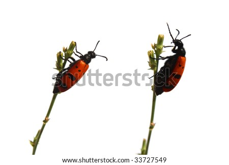 beetles communicating with each other - stock photo