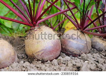 Beetroot in a vegetable garden, selective focus, close up - stock photo