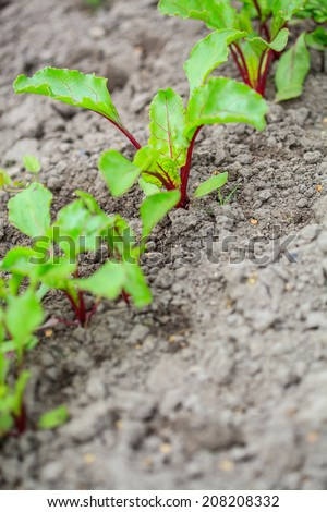 Beetroots sprouts om a soil. Shallow depth of field - stock photo