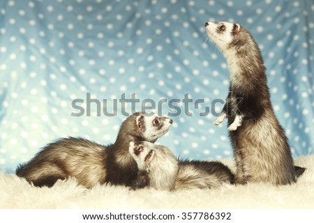 Begging ferret in group - stock photo